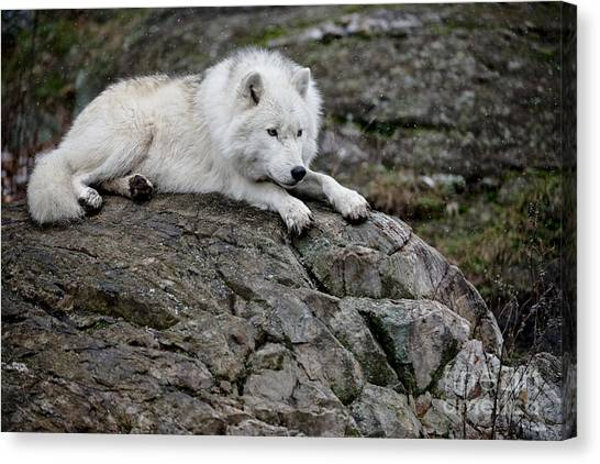Canvas Print - Arctic Wolf Pictures 1142 by World Wildlife Photography