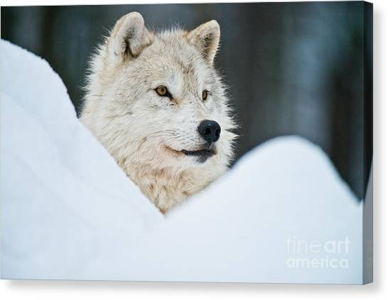 Canvas Print - Arctic Wolf Pictures 1144 by World Wildlife Photography