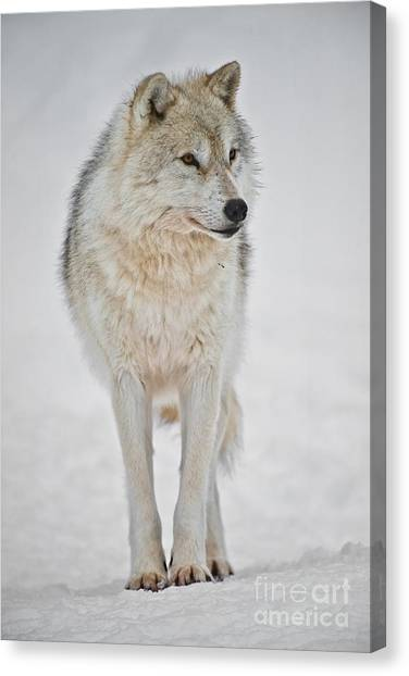 Canvas Print - Arctic Wolf Pictures 1146 by World Wildlife Photography