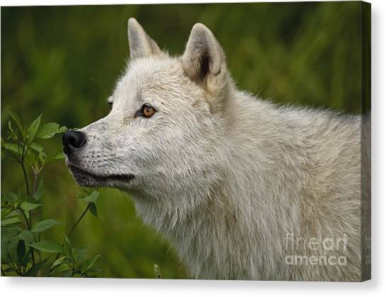 Canvas Print - Arctic Wolf Pictures 168 by World Wildlife Photography