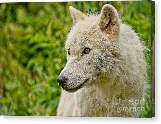Arctic Wolf Pictures 241 Canvas Print