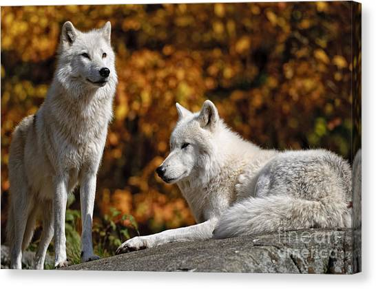 Canvas Print - Arctic Wolf Pictures 34 by World Wildlife Photography