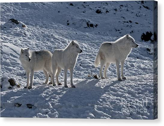 Canvas Print - Arctic Wolf Pictures 374 by World Wildlife Photography