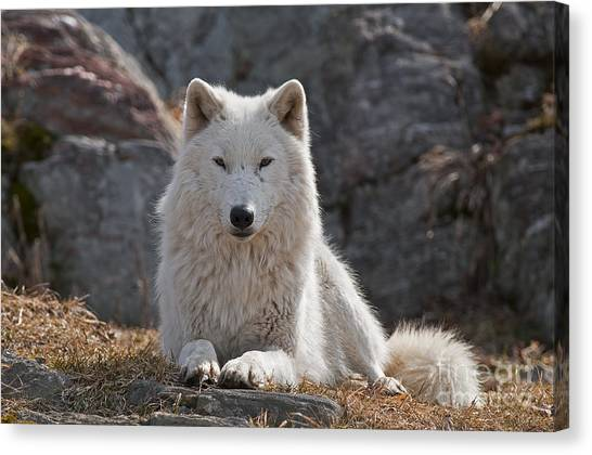 Canvas Print - Arctic Wolf Pictures 518 by World Wildlife Photography