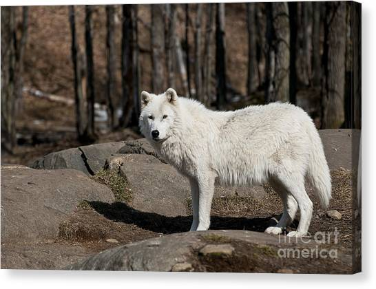 Canvas Print - Arctic Wolf Pictures 512 by World Wildlife Photography