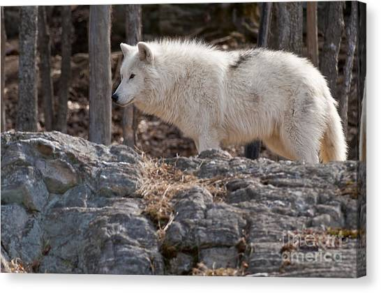 Canvas Print - Arctic Wolf Pictures 525 by World Wildlife Photography