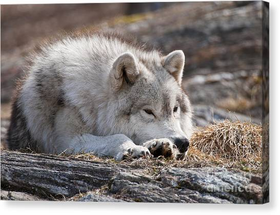 Canvas Print - Arctic Wolf Pictures 526 by World Wildlife Photography