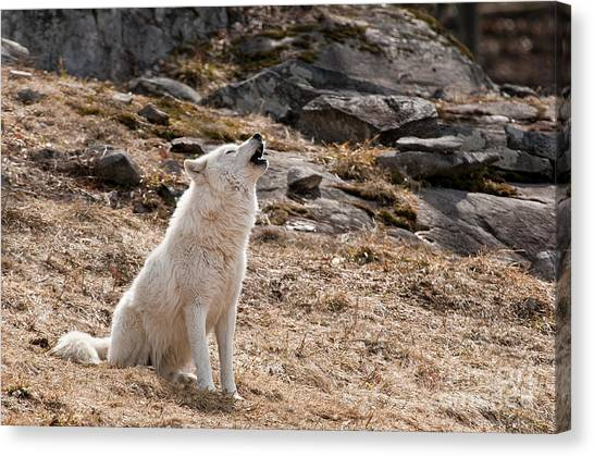 Canvas Print - Arctic Wolf Pictures 535 by World Wildlife Photography
