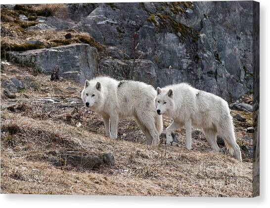 Canvas Print - Arctic Wolf Pictures 536 by World Wildlife Photography