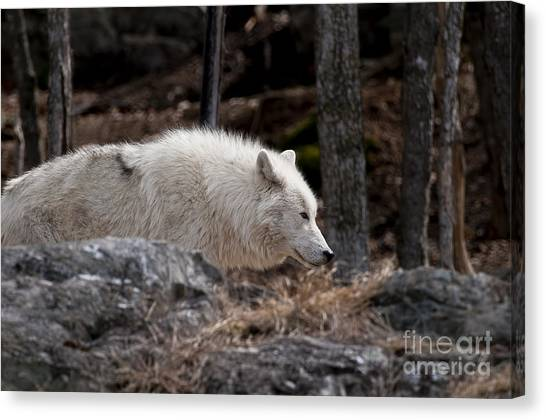 Canvas Print - Arctic Wolf Pictures 541 by World Wildlife Photography