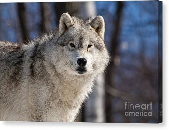 Canvas Print - Arctic Wolf Pictures 550 by World Wildlife Photography