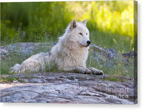 Canvas Print - Arctic Wolf Pictures 628 by World Wildlife Photography
