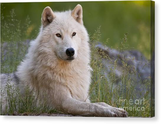 Canvas Print - Arctic Wolf Pictures 630 by World Wildlife Photography
