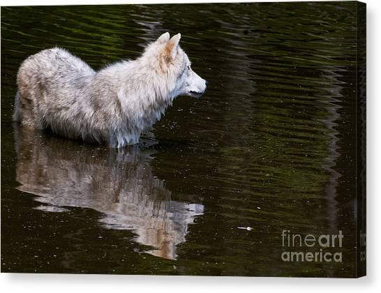 Canvas Print - Arctic Wolf Pictures 672 by World Wildlife Photography