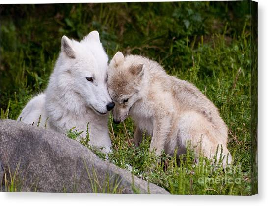 Canvas Print - Arctic Wolf Pictures 702 by World Wildlife Photography
