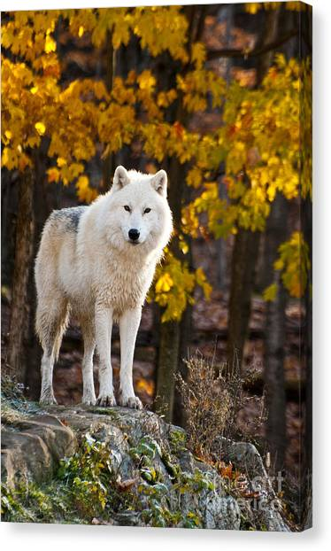 Canvas Print - Arctic Wolf Pictures 709 by World Wildlife Photography