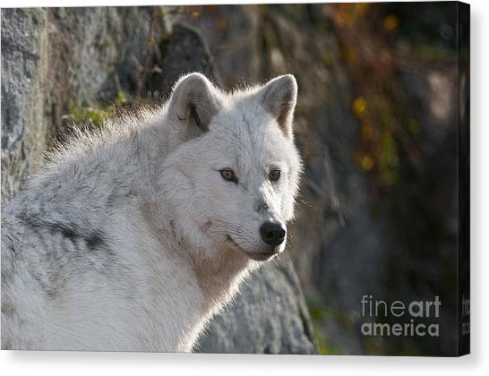 Canvas Print - Arctic Wolf Pictures 718 by World Wildlife Photography