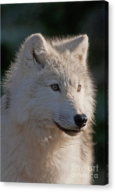 Canvas Print - Arctic Wolf Pictures 727 by World Wildlife Photography