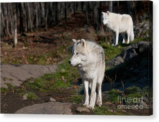 Canvas Print - Arctic Wolf Pictures 735 by World Wildlife Photography