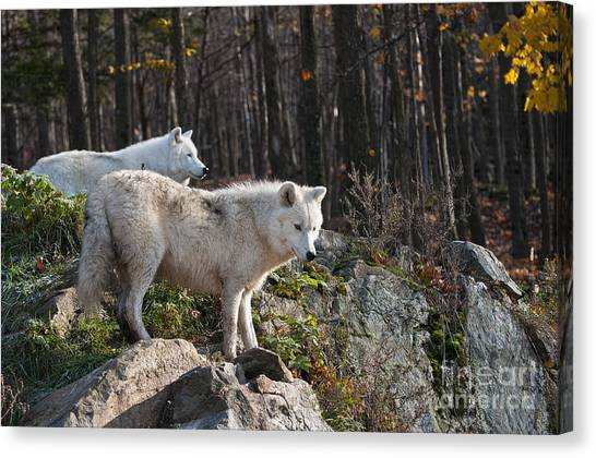 Canvas Print - Arctic Wolf Pictures 744 by World Wildlife Photography