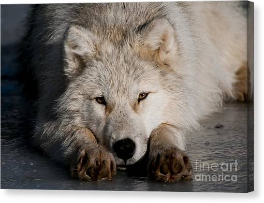 Canvas Print - Arctic Wolf Pictures 752 by World Wildlife Photography