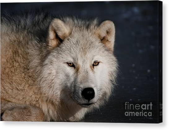 Canvas Print - Arctic Wolf Pictures 755 by World Wildlife Photography