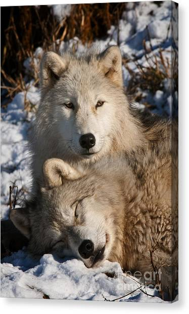 Canvas Print - Arctic Wolf Pictures 787 by World Wildlife Photography