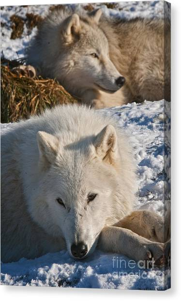 Canvas Print - Arctic Wolf Pictures 794 by World Wildlife Photography