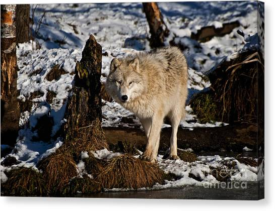 Canvas Print - Arctic Wolf Pictures 807 by World Wildlife Photography