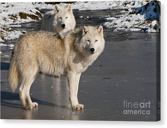 Canvas Print - Arctic Wolf Pictures 812 by World Wildlife Photography