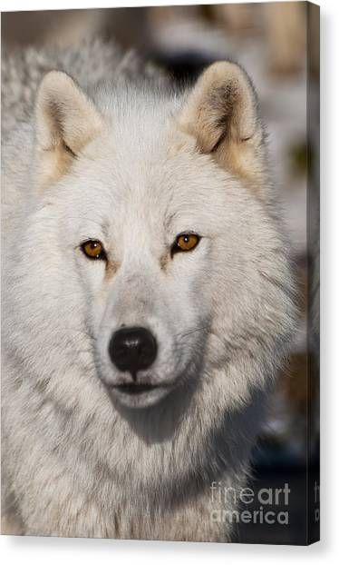 Canvas Print - Arctic Wolf Pictures 814 by World Wildlife Photography