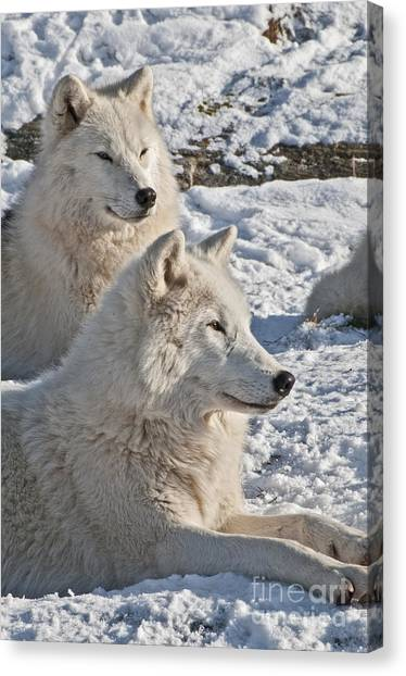Canvas Print - Arctic Wolf Pictures 830 by World Wildlife Photography