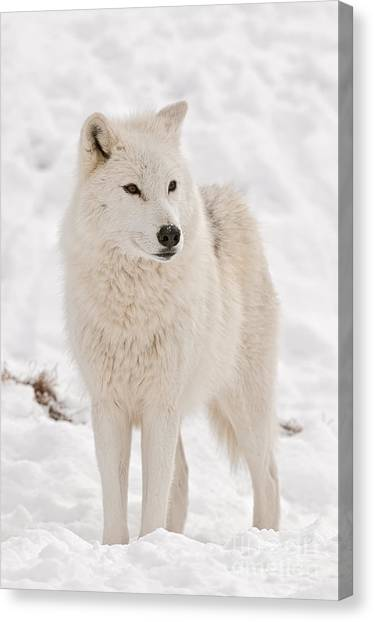 Canvas Print - Arctic Wolf Pictures 844 by World Wildlife Photography