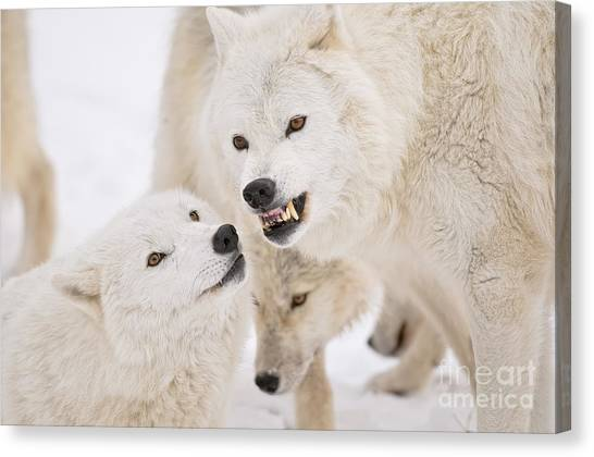 Canvas Print - Arctic Wolf Pictures 872 by World Wildlife Photography