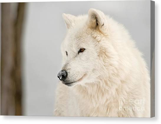 Canvas Print - Arctic Wolf Pictures 879 by World Wildlife Photography