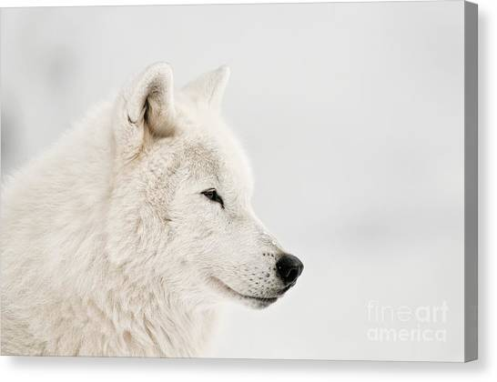 Canvas Print - Arctic Wolf Pictures 885 by World Wildlife Photography