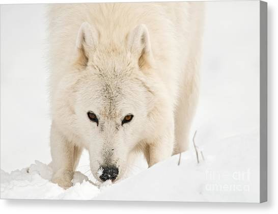 Canvas Print - Arctic Wolf Pictures 888 by World Wildlife Photography