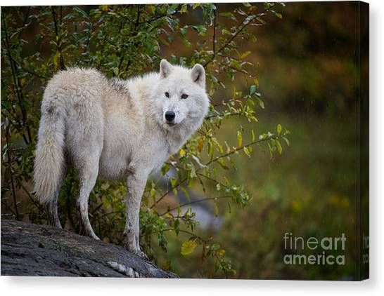 Canvas Print - Arctic Wolf Pictures 922 by World Wildlife Photography
