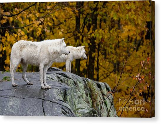 Canvas Print - Arctic Wolf Pictures 930 by World Wildlife Photography