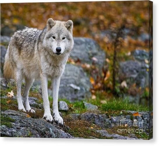 Canvas Print - Arctic Wolf Pictures 942 by World Wildlife Photography