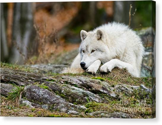 Canvas Print - Arctic Wolf Pictures 986 by World Wildlife Photography
