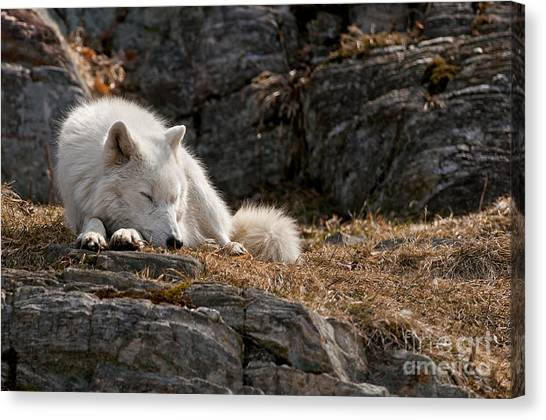 Canvas Print - Arctic Wolf Pictures 519 by World Wildlife Photography