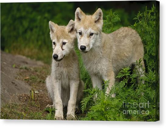 Arctic Wolf Puppies Canvas Print