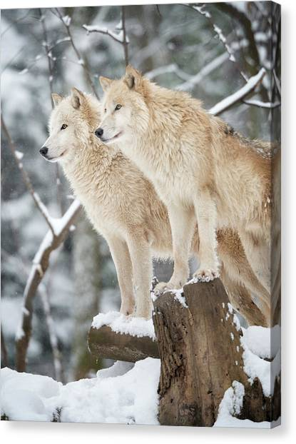 Arctic Wolf Canvas Print - Arctic Wolves Pack In Wildlife, Winter by 4fr