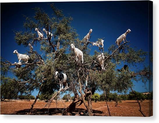 Traditional Canvas Print - Argan Goats by Burak Senbak