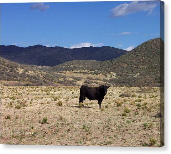 Arizona Angus - Out Standing In His Field Canvas Print