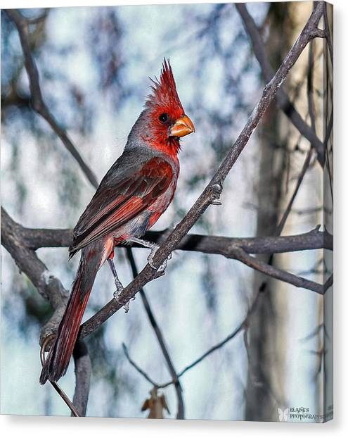Arizona Cardinal Canvas Print