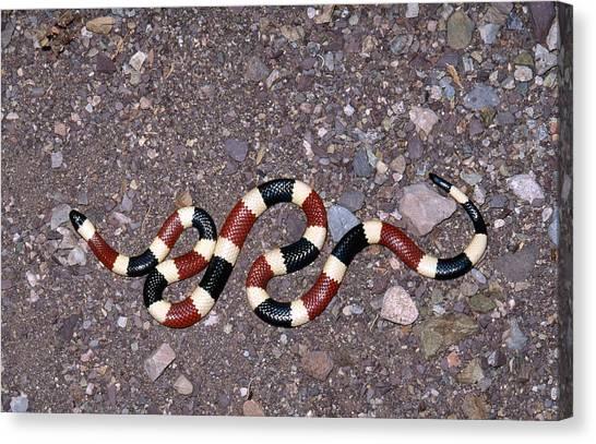 Coral Snakes Canvas Print - Arizona Coral Snake by Karl H. Switak