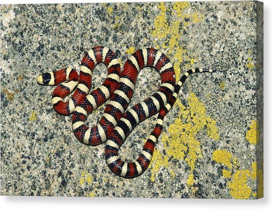 Coral Snakes Canvas Print - Arizona Mountain Kingsnake by Karl H. Switak