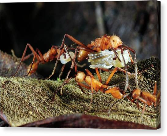 Amazon Rainforest Canvas Print - Army Ants Raiding Pupae by Sinclair Stammers/science Photo Library
